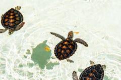 Utsatt för fara gulligt behandla som ett barn sköldpaddor Royaltyfria Bilder