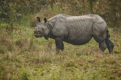 Utsatt för fara indisk noshörning i naturlivsmiljön Arkivbild