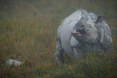 Utsatt för fara indisk noshörning i naturlivsmiljön Royaltyfria Foton