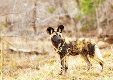 Utsatt för fara lös hund i Sydafrika Royaltyfri Foto