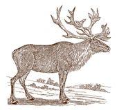 Utsatt för fara manlig boreal karibu för tarandus för rangifer för skogsmarkkaribu eller reni sidosikten som står i ett landskap royaltyfri illustrationer