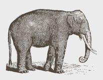 Utsatt för fara manlig för Elephasmaximus för indisk elefant tjur för indicus i sidosikt royaltyfri illustrationer