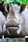 utsatt för fara noshörningwhite Arkivfoton