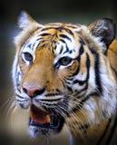 Utsatt för fara Sumatran tiger Arkivbild