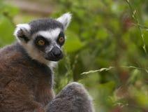 utsatt för fara tailed ringed för lemur royaltyfria foton