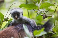 Utsatt för fara Zanzibar röd colobusapa (den Procolobus kirkiien), Joza Fotografering för Bildbyråer