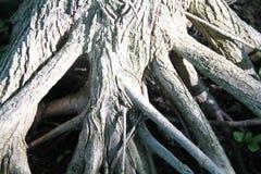 Utsatt rotar av en trädstam Arkivbild