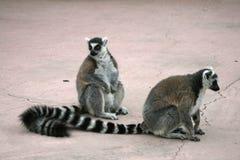 utsatte för fara lemurs Royaltyfria Bilder
