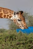 Utsatte för fara Rothchilds giraff, Kenya, Afrika Giraffacamelopardalis arkivfoto