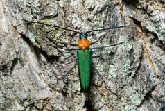 utskjutande cerambycidae för capricorn 4 Fotografering för Bildbyråer