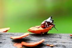 utskjutande cervuslucanusfullvuxen hankronhjort Royaltyfri Bild