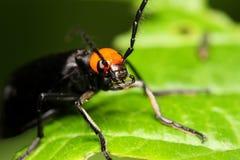 utskjutande coleoptera Arkivbilder