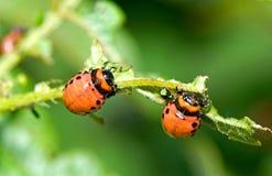utskjutande colorado larva royaltyfria bilder