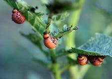 utskjutande colorado larva arkivfoto