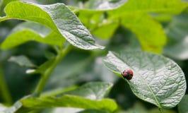 utskjutande colorado larva fotografering för bildbyråer