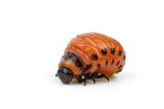 utskjutande colorado larvapotatis Arkivfoto