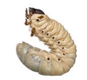 utskjutande dynasteshercules larva fotografering för bildbyråer