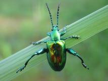 Utskjutande hänga för skinande juvel på ett grönt ogräs Fotografering för Bildbyråer