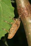 utskjutande leaflonghornpoplar royaltyfria foton
