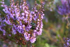 Utskjutande samlande nektar Arkivbilder