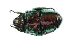 utskjutande scarab Arkivbilder