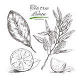 Utslagsplatsträd och citron Dragen samling för vektor hand Naturliga örter och blommor Skönhet och Ayurveda organiska skönhetsmed vektor illustrationer