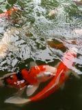 Utsmyckad carp Royaltyfria Foton