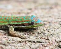 Utsmyckad daggecko i naturlig livsmiljö Royaltyfria Foton