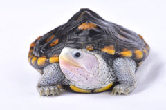 Utsmyckad diamondbacksumpsköldpadda, Malaclemyssumpsköldpaddamacrospilota Royaltyfri Fotografi