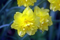 Utsmyckad gul påsklilja Fotografering för Bildbyråer
