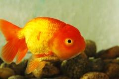 utsmyckad guldfisk Fotografering för Bildbyråer