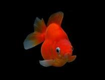 Utsmyckad guldfisk som isoleras på svart bakgrund Arkivfoton