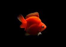 Utsmyckad guldfisk som isoleras på svart bakgrund Arkivbilder