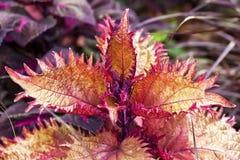 utsmyckad leaf för coleus Arkivfoto
