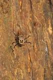 Utsmyckad orb-vävare spindel, kvinnlig och manligt, Herennia multipuncta, Thane, Maharashtra, Indien royaltyfria foton