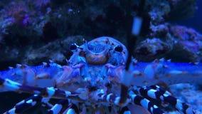 Utsmyckad Panulirus för taggig hummer ornatus i akvarium stock video