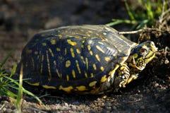 utsmyckad sköldpadda för ask royaltyfria bilder