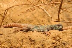 Utsmyckad Taggig-Tailed ödla utsmyckade Uromastyx Arkivfoto