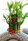 utsmyckad växt för bambu Royaltyfri Foto