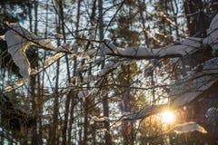 Utsmyckade dingla snowdfirts på filialer för ett träd i solljuset royaltyfria foton