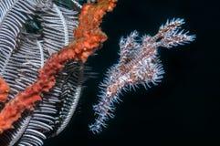 Utsmyckade spökepipefishes Fotografering för Bildbyråer