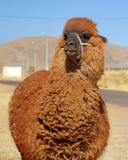 utsmyckat posera för llama Royaltyfria Bilder