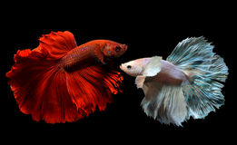 Utsmyckat rött och silver Betta fotografering för bildbyråer