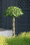 Utsmyckat träd för topiary för Kent stugaträdgård arkivbild