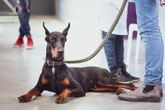 Utställning av hundkapplöpning, Doberman royaltyfri fotografi