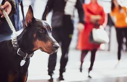 Utställning av hundkapplöpning, Doberman fotografering för bildbyråer