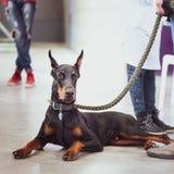 Utställning av hundkapplöpning, Doberman arkivfoton