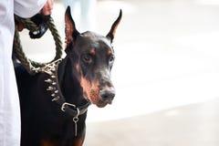 Utställning av hundkapplöpning, Doberman med ägaren royaltyfri foto