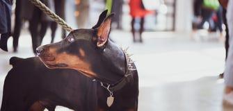 Utställning av hundkapplöpning, Doberman med ägaren, royaltyfria foton