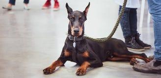 Utställning av hundkapplöpning, Doberman med ägaren royaltyfri fotografi